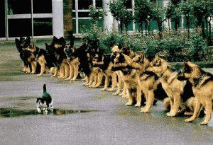 Katze geht gelassen an einer Meute von Schäferhunden vorbei