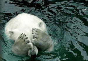 Eisbär hält sich beide Augen zu
