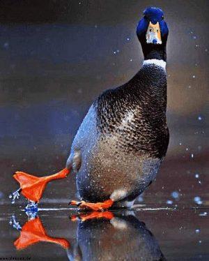 Ente rutscht beim Landen aus