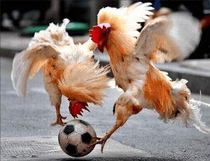 Zwei Hähne spielen Fußball