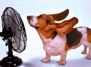 Hund föhnt seine Ohren mit Ventilator