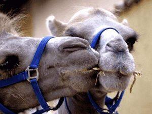 Zwei Kamele beim Knutschen