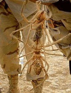 Große Kamelspinne im Irak
