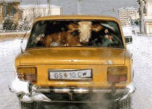 Eine Kuh auf dem Rücksitz eines Autos