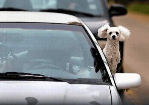 Hund schaut während der Fahrt aus dem Fenster