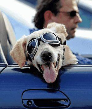 Hund mit Sonnenbrille im Auto