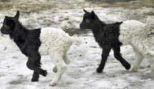 Zwei schwarz-weiß gemusterte Schafe