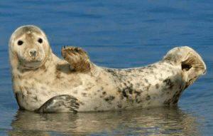 Seehund macht winke, winke ...
