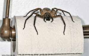 Spinne auf Toilettenpapier