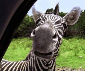 Zebra grinst frech durchs Fenster in das Auto hinein